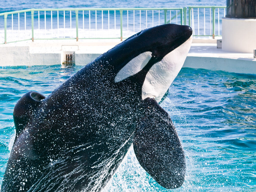 """SeaWorld's """"Blue World"""" project a mask for more orca breeding"""